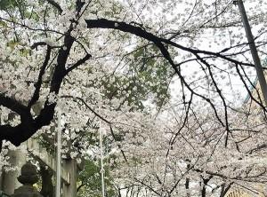 160401桜
